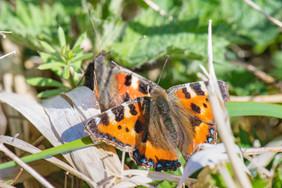 Small Tortoiseshell butterflies  DSC_4332.jpg