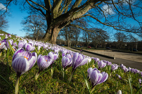 Crocuses in Duthie Park