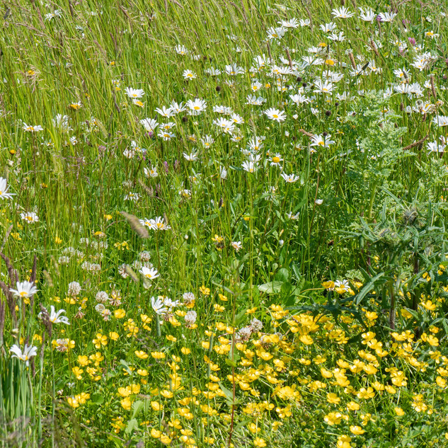 Ox-eye daisy and buttecup