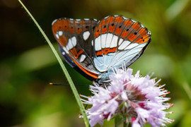 Southern White Admiral Butterfly underside