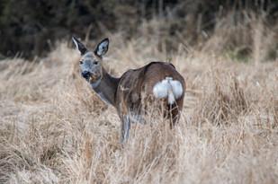 Roe Deer, doe, female