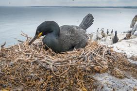 Shag on the nest