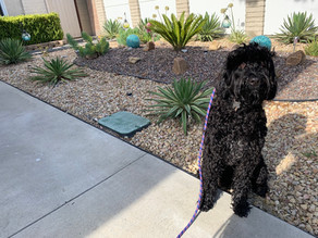Rook | 6 Months Old | Portuguese Water Dog | Camarillo | In Training