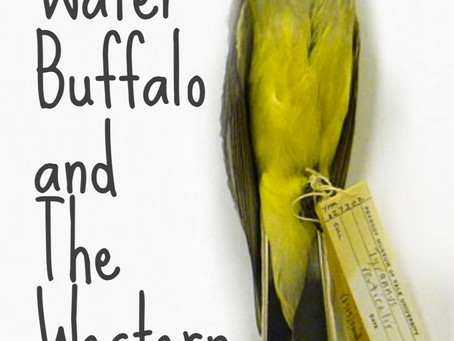 THE WATER BUFFALO AND THE WESTERN KINGBIRD