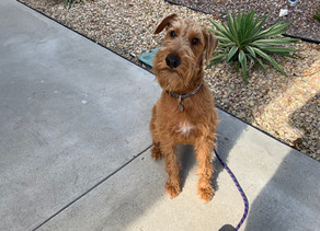 Tucker | 2 years old | Irish Terrier | Brea | In training