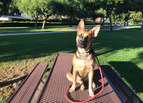 Lola | 9 month old | Shepard Mix | La Mirada CA | In Training