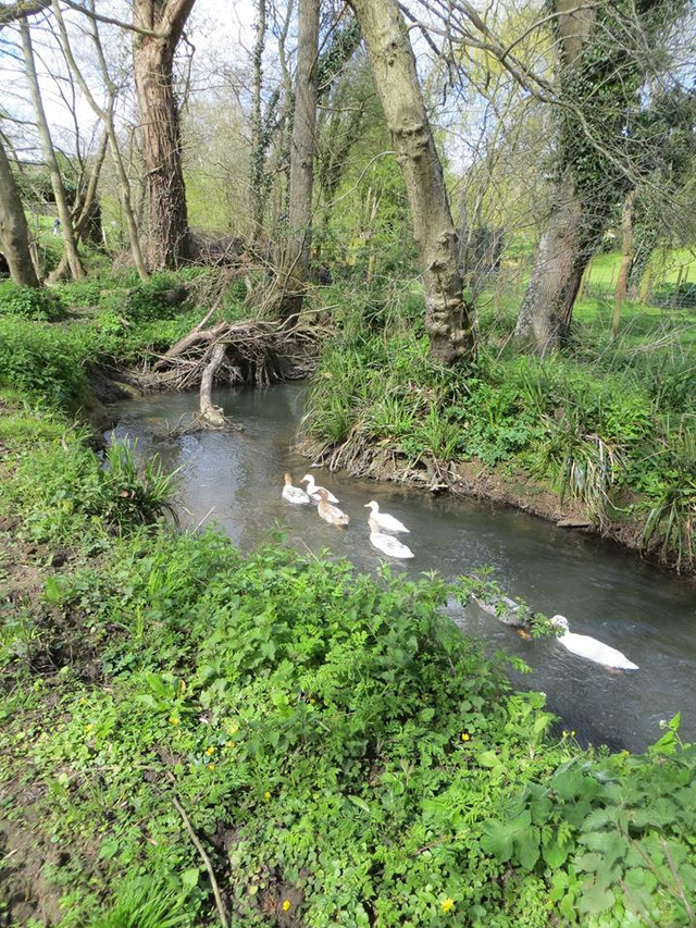 painswick ducks