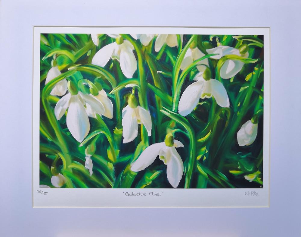 Galanthus Elwesii snowdrop limited edition art print