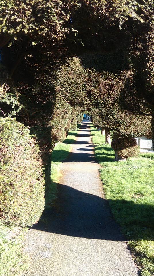 Yew hedges 1