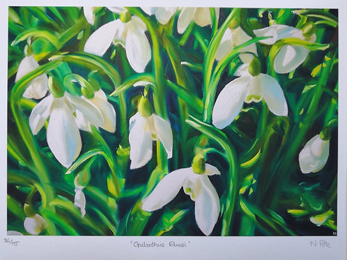 'Galanthus Elwesii' snowdrops limited edition print