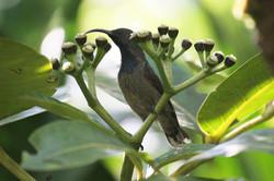 sunbird on Polyscias.jpg
