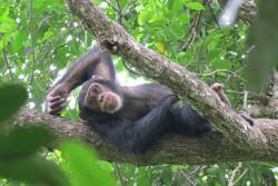 Adolescent chimpanzee resting_Kimberley