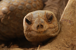 Tortoise1_MSur.JPG