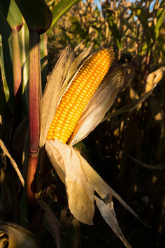 We use only Non-GMO corn in all of our corn products.