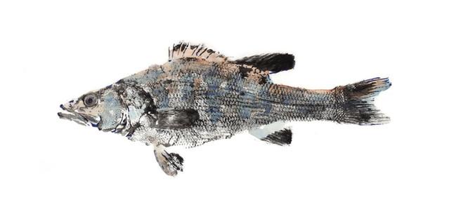 W56_Micropterus_treculii.jpg