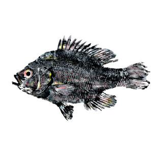 centrarchidae_lepomis_miniatus.jpg