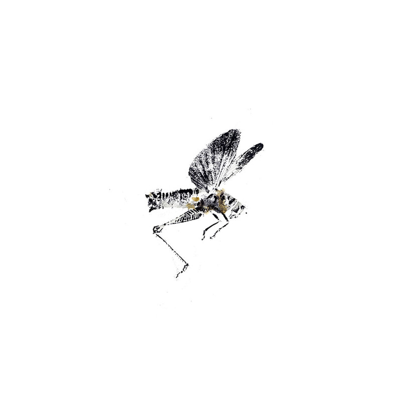 99W_Melanopterus_differentialis_vers1_8x