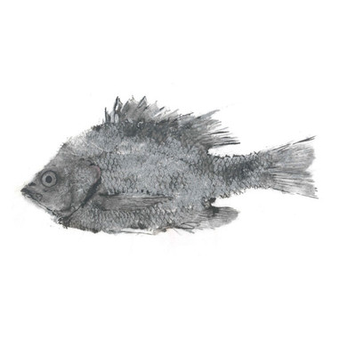 centrarchidae_lepomis_microlophus2.jpg
