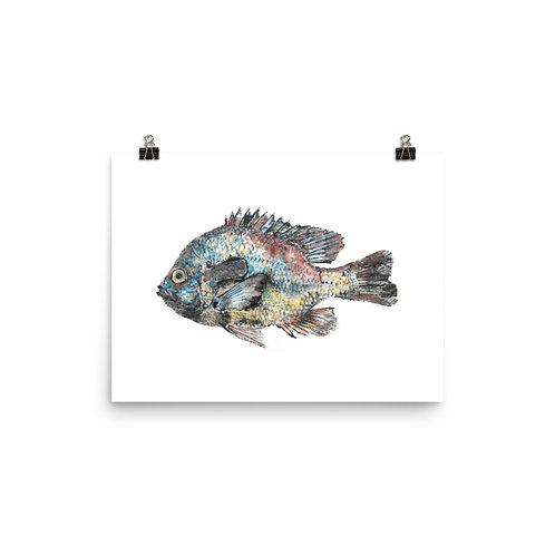 Poster - Longear Sunfish (IA25V1)