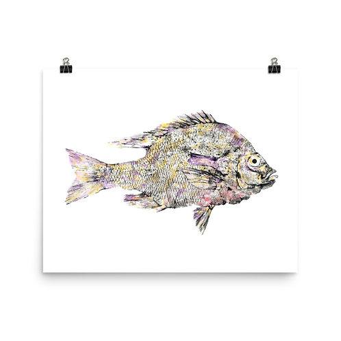 Poster - Redbreast Sunfish (IA21V1)