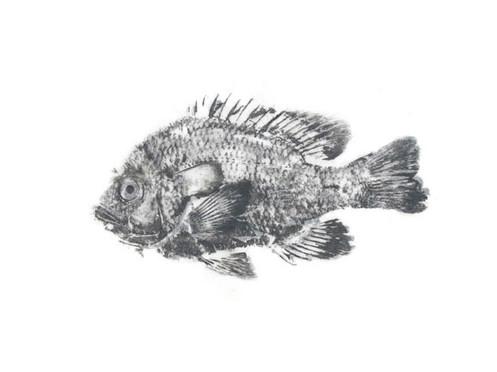 centrarchidae_lepomis_megalotis21.jpg