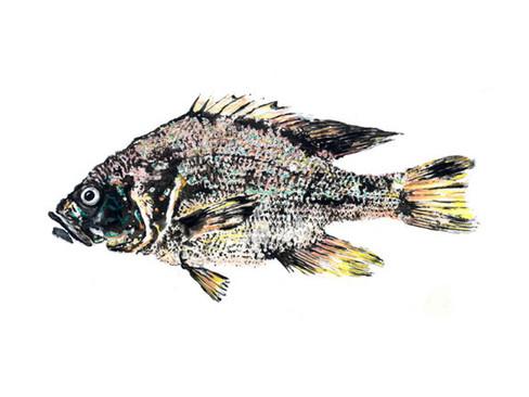centrarchidae_lepomis_cyanellus.jpg