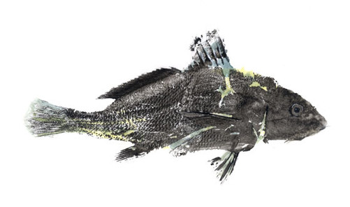Micropogon-undulatus.jpg