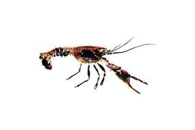 96W_Procambarus_clarkii_vers2_8x12.jpg