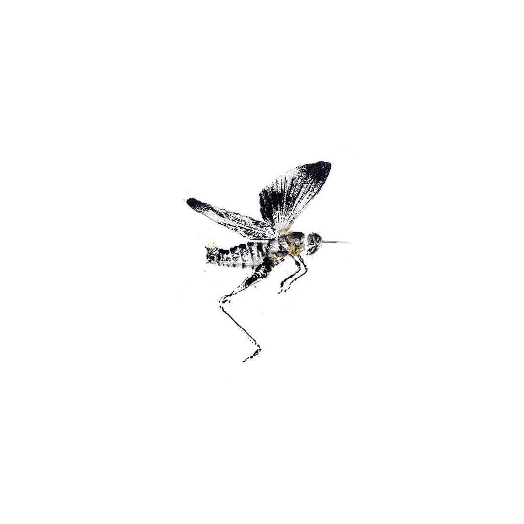 99W_Melanopterus_differentialis_vers2_8x