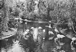 134_115 Flamingoes- Zoological Gardens