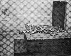 124_105 Leopard- Zoological Gardens