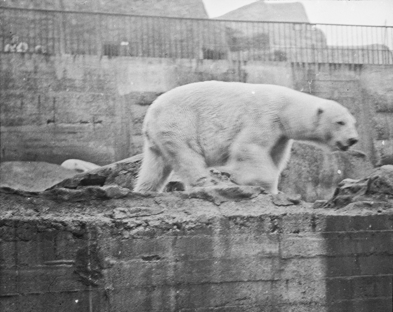 129_110 Polar Bears- Mappin Terrace