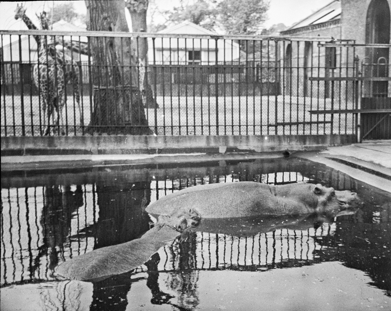 125_106 Hippo- Zoological Gardens