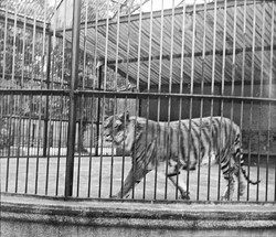 128_109 Tiger-Bacche-Zoological Gardens