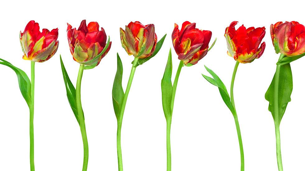 British Grown Tulips
