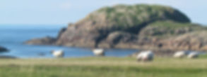 sheep grazing on the Isle of Iona