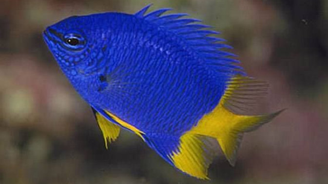 Yellow Tail Blue Damsel