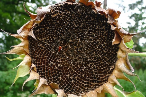 """Dead Sunflower"""