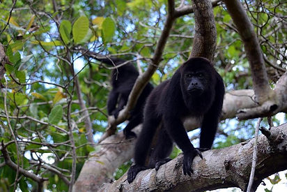 Monkey River Tour and Manantee Watch