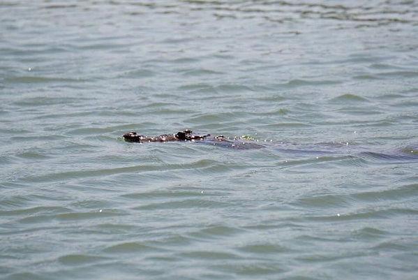 salt water crocodile in Monkey River