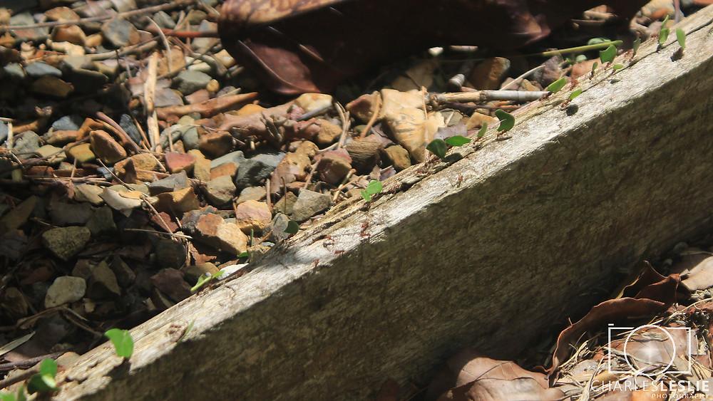 Leaf Cutter Ants Jaguar Reserve Belize