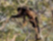 howler-monkey-1112746_1920.jpg