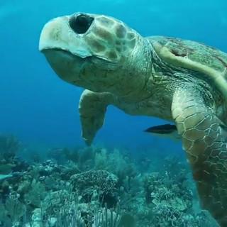 Turtle Swimming Placencia