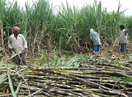 Thousands of Cane Farmers are dying in Central America