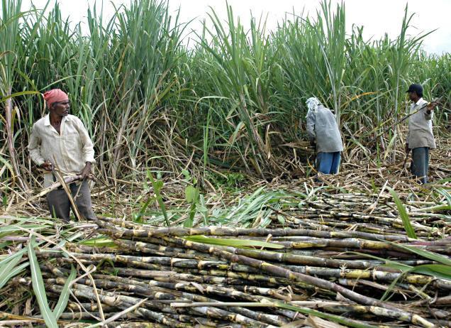 Belize Sugar Cane Industry