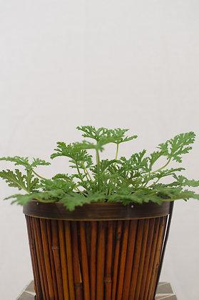 Citronella / Mosquito Plant
