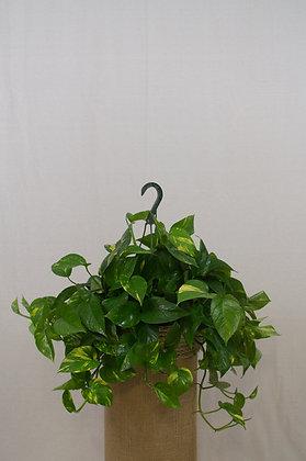 Epipremnum Hawaiian Pothos Basket