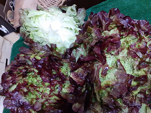 Salade Feuille de Chêne