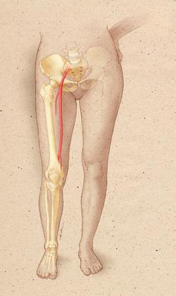 Leg Anatomy