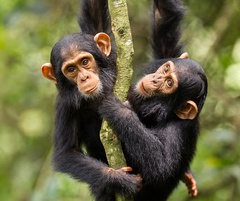 Chimpanzés Ouganda